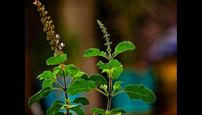 benefits of tulsi plant
